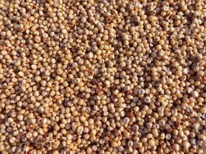 close up of uncooked sorghum, a gluten free grain