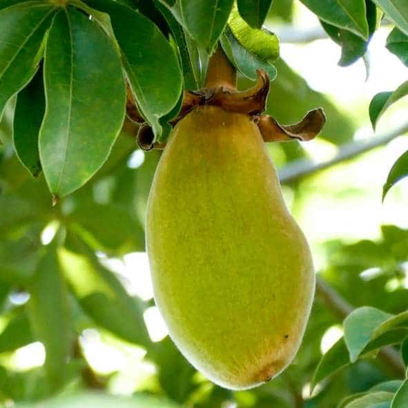 Baobab fruit hanging from a tree that can be used for for anti-inflammatory smoothies